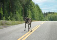 Reja severnih jelenov brez meja, Laponska – med Finsko in Norveško (2)